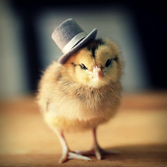 Цыпленок 4