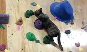 Кошка скалолаз профессионально забирается на стену