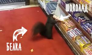 Видео: Белка ворует шоколадки из магазина
