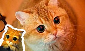 Познакомься с Хосико - живым воплощением Кота в Сапогах