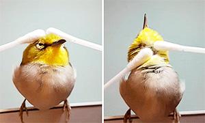 Маленькая птичка наслаждается массажем ватными палочками